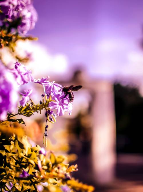 Bee on purple flowers wallpaper