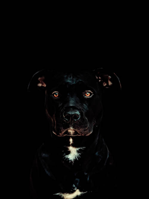 Fondo de pantalla de Pitbull negro