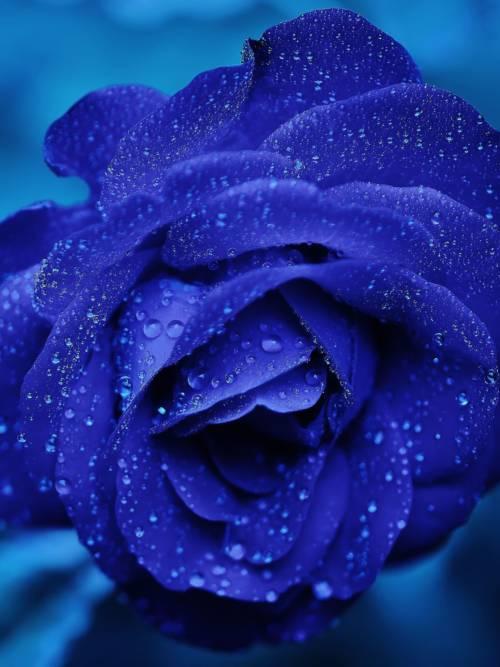 Blaue Rose wallpaper