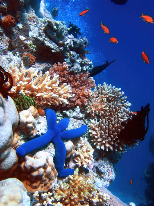 Blue starfish in coral reef wallpaper