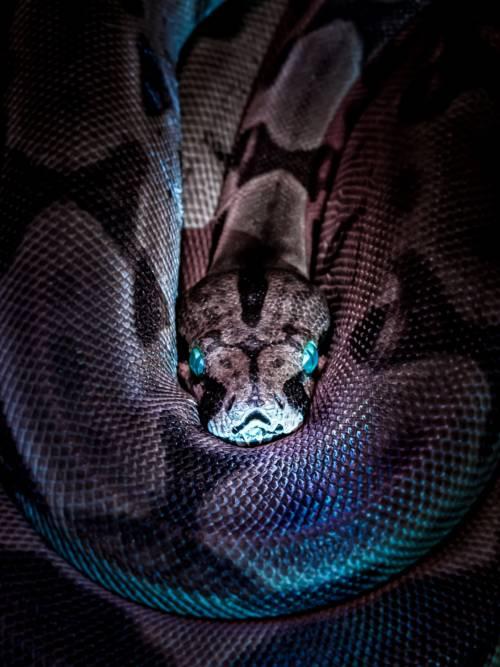 Boa constrictor wallpaper