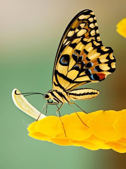 Butterfly on yellow flowers wallpaper