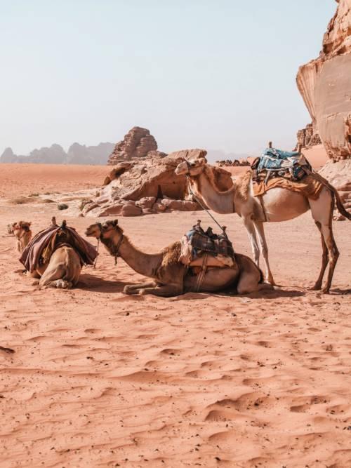 Papel de parede de Camelos em Wadi Rum