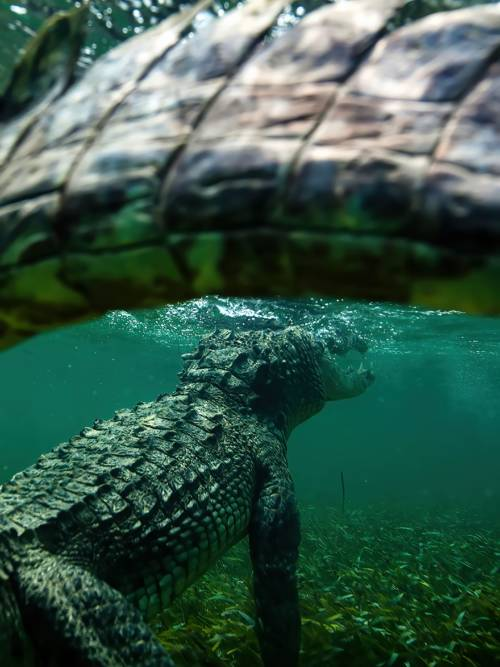Papel de parede de Crocodilo