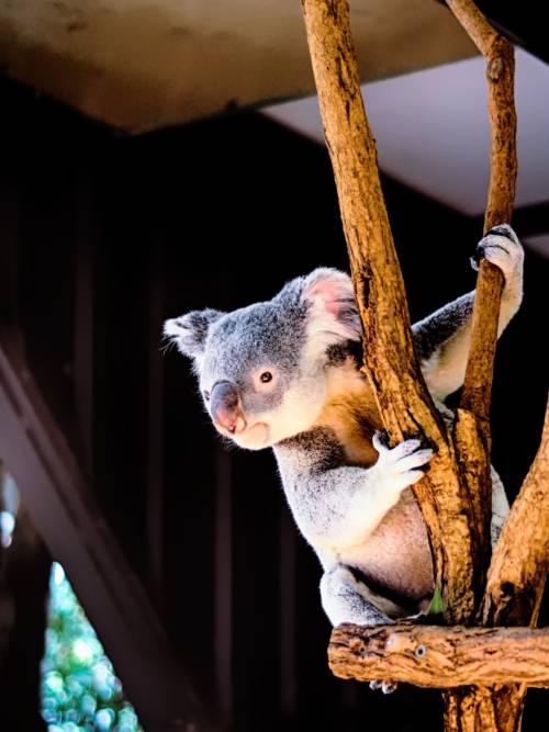 Koala klettert auf einen Baum wallpaper