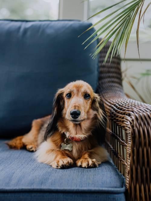 Fondo de pantalla de Perro en el sofá