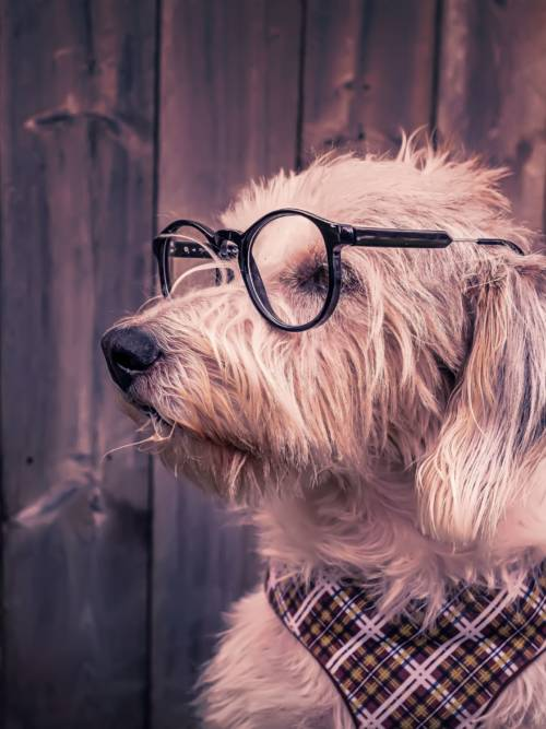 Dog with glasses wallpaper