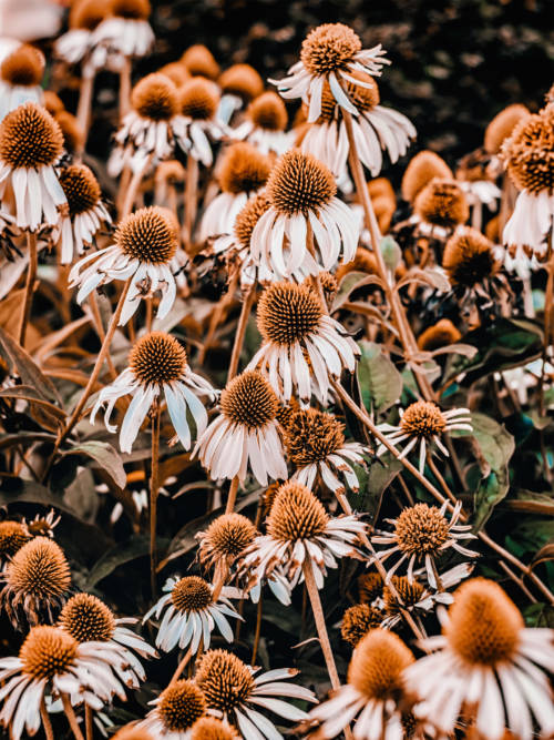Echinacea Pflanze wallpaper