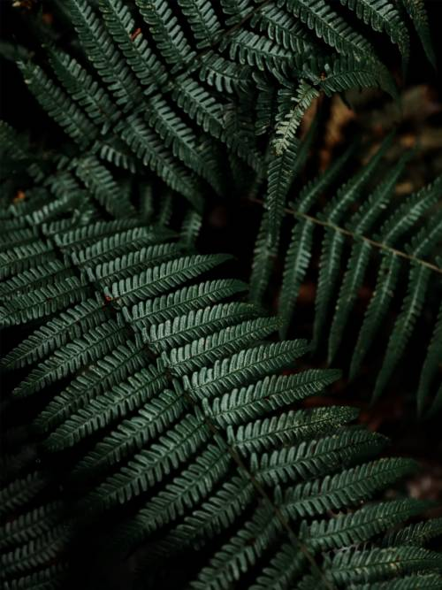 Fern plant wallpaper