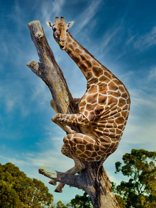 Giraffe climbing a tree wallpaper