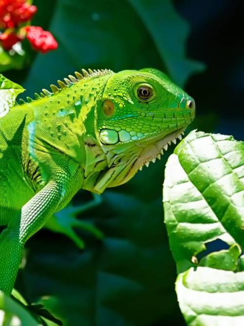 Fondo de pantalla de Iguana verde para móviles y tablets