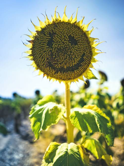 Happy sunflower wallpaper