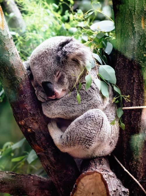 Koala schläft wallpaper
