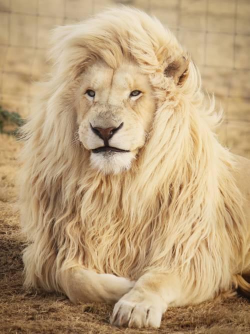 Papel de parede de Leão