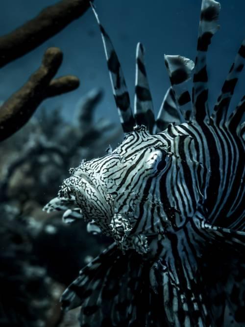 Fondo de pantalla de Pez león en el arrecife de coral para móviles y tablets