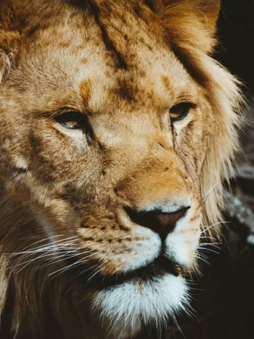 Papel de parede de Cabeça de leão