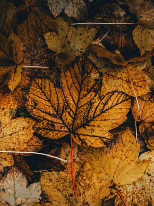 Ahornblatt im Herbst wallpaper