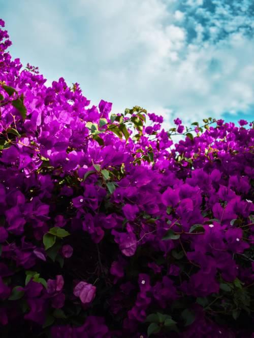 Fond d'écran de Fleurs pourpres
