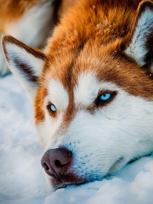 Siberian Husky wallpaper
