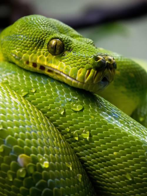 Schlangen makro wallpaper
