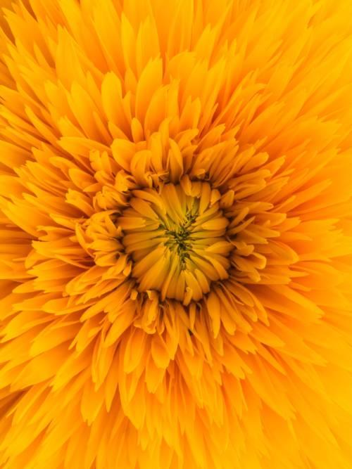Sonnenblumen-Makro wallpaper