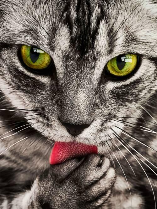 Getigerte Katze wallpaper