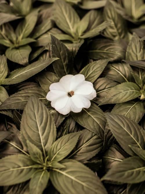 Fondo de pantalla de Flor blanca para móviles y tablets