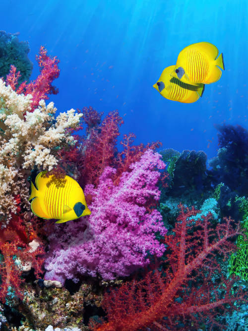 Yellow fish in coral reef wallpaper